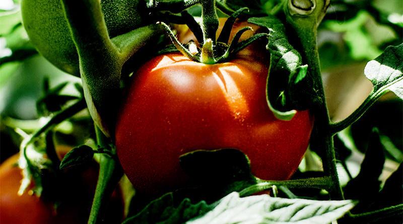 Ξεριζώνουν Τις Ντομάτες Στο Τυμπάκι